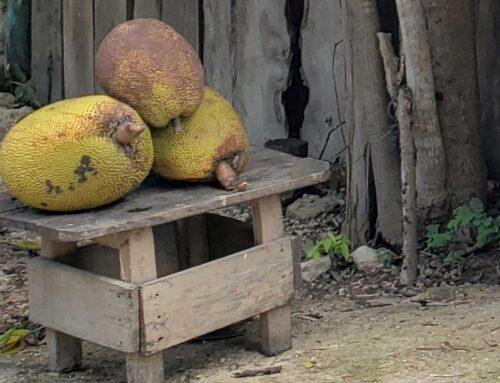 yaca or jack fruit from Mexico